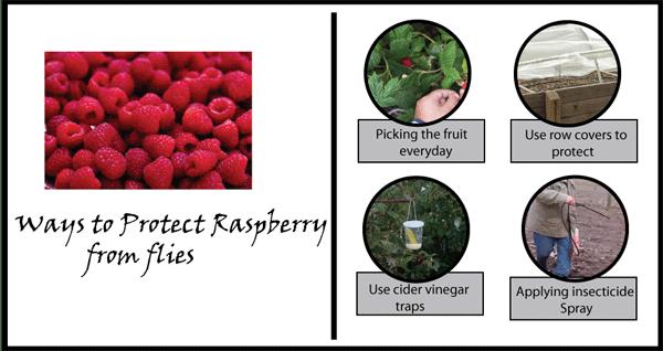 protect-raspberries-from-flies