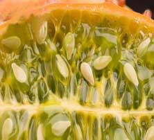 African-Cucumber-seeds