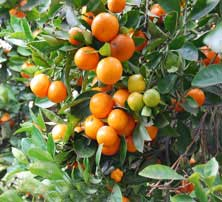 calamondins fruits tree flowers varieties medicinal uses calamondin orange. Black Bedroom Furniture Sets. Home Design Ideas