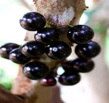 Jaboticaba-Fruit