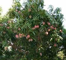 Mangosteen fruits | Mangosteen Health Benefits | Mangosteen
