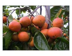 Maru-persimmons