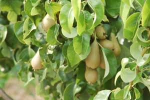 Melon-Pear-Plant
