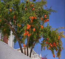 Pomegranate-Tree