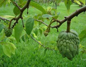 Sugar-apple-tree