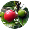 Cedar-bay-cherry-Tropical-fruit