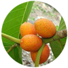 florida-strangler-fig-fruit