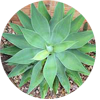 agave-plant-tropical-fruit