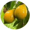 bacuri-tropical-fruit