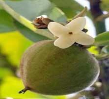 Velvet apple,Velvet applet Varieties, Recipes of Velvet apple ...