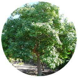 Zapote Tree