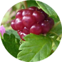 broad-leaf-bramble