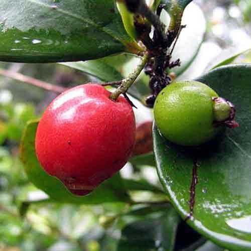 Cedar bay cherry nutrition facts