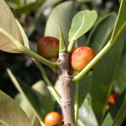 Florida strangler fig | Nutrition facts-Florida strangler ...