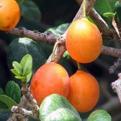 Imbe Fruit