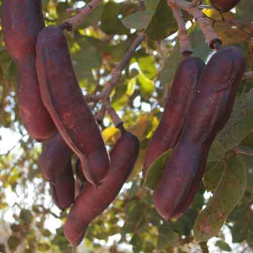 Jatoba Fruit Nutrition Facts Jatoba Fruit Health Benefits