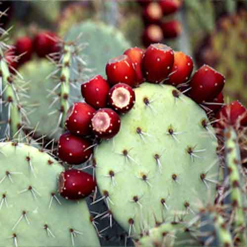 prickly-pear-1