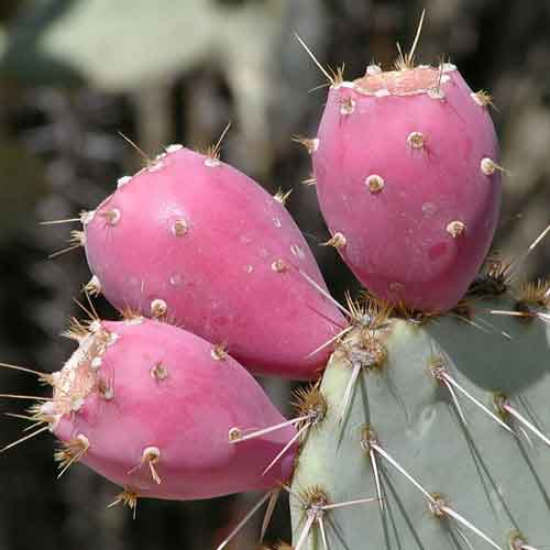 prickly-pear-3