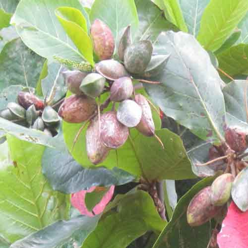 Tropical Almond fruit| Nutrition facts-Tropical Almond fruit | Health ...