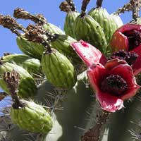 saguaro fruit are fruit loops healthy