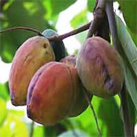 tropical-almond-1