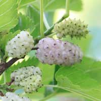 white-mulberry-3