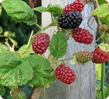 marionberry plant
