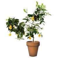 limequat plant