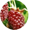 loganberry fruit