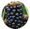 Marionberry fruit