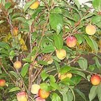 Pluot Tree