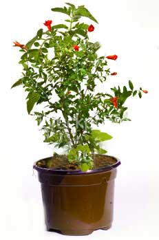 pomato plant