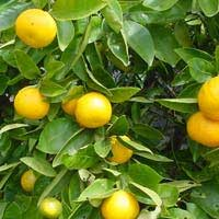 tangelo fruit tree