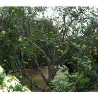ugli fruit tree