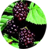 Youngberry fruit
