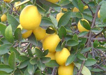 kumquat-Marum
