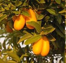 Kumquat-meiwa