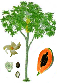 Papaya Fruit,Nutrition of Papaya, Papaya tree, Papaya Latex, Uses ...