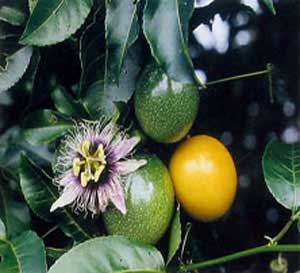 Picture Passion Flower on Passion Fruit Juice   Recipes  Yellow  Purple   Banana Passion Fruit