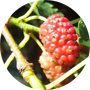 red-mulberry
