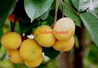 yellow-santol