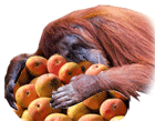 Orangutans love mangoes